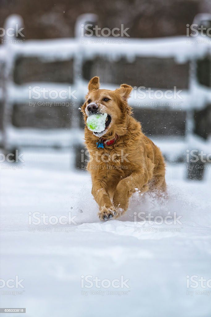 Dog running and playing fetch in the snow Golden Retriever stock photo