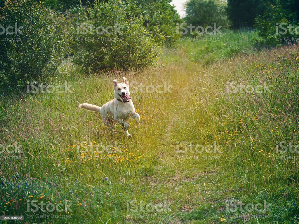 Dog running in meadow/field stock photo