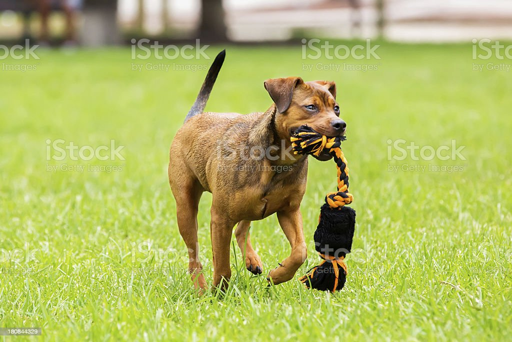 Dog running in park with a chew toy royalty-free stock photo