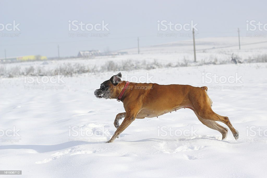 dog running in snow royalty-free stock photo