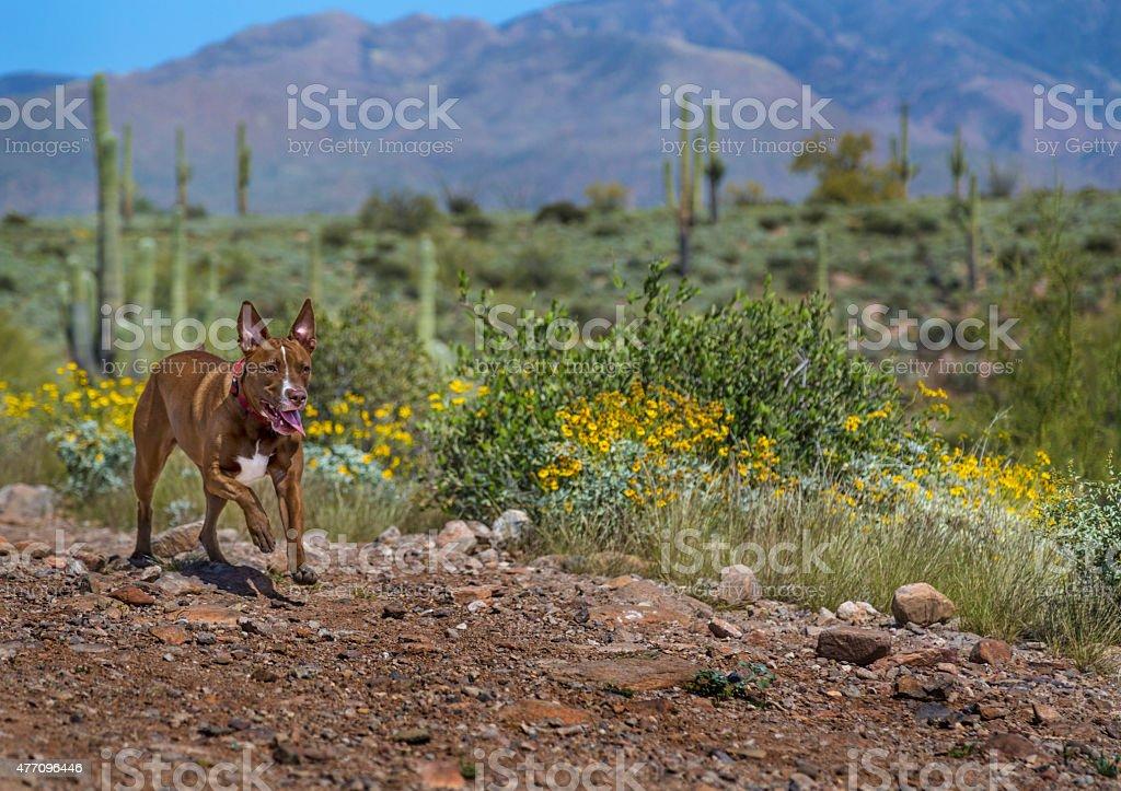 Dog running in the Arizona Desert stock photo