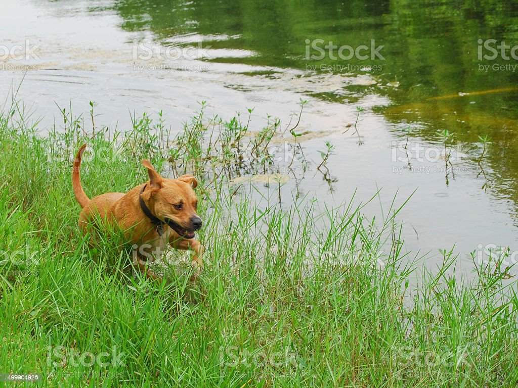Dog Running in the Field stock photo