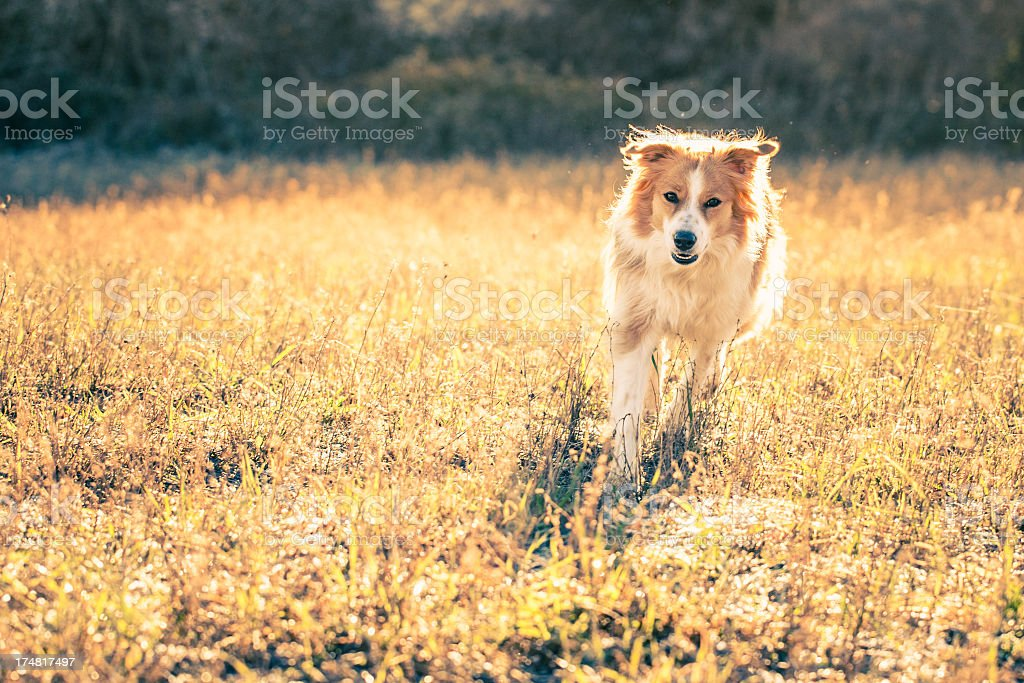 Dog running in the fields royalty-free stock photo