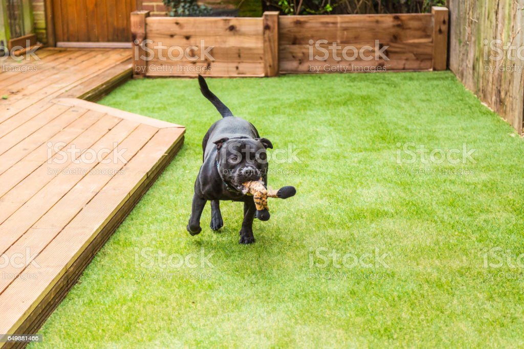 Dog running on artifical grass by decking with a toy in his mouth stock photo
