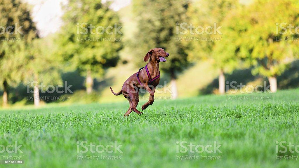Dog running on grass royalty-free stock photo