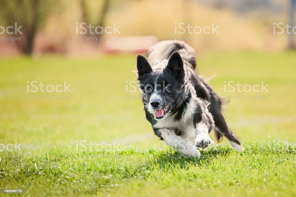 dog running on grass stock photo
