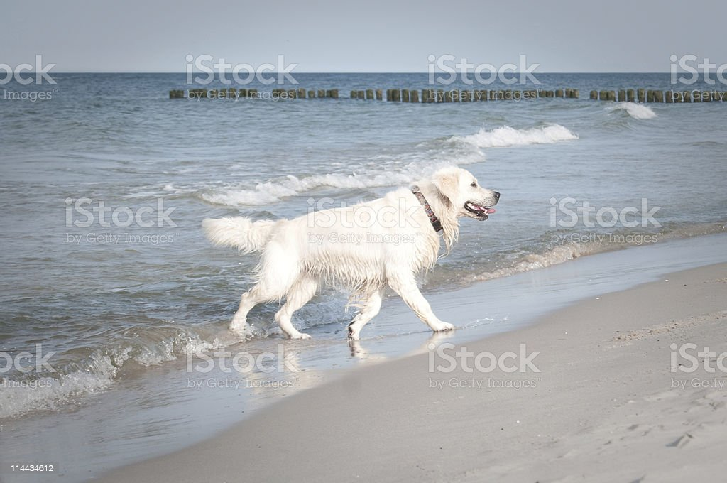 Dog running on the beach.