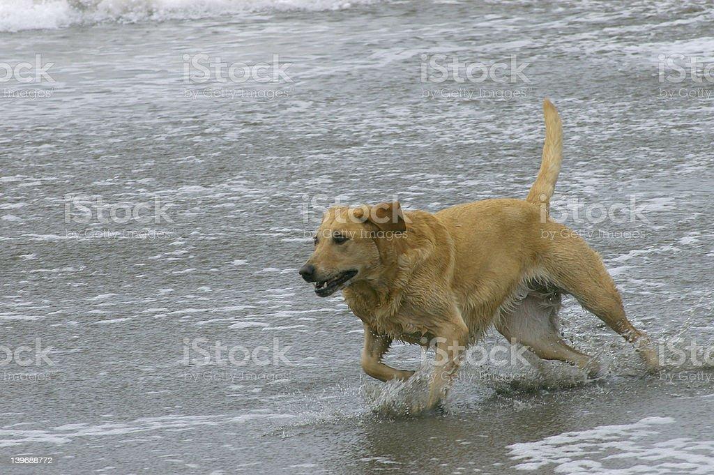 Dog running on the beach royalty-free stock photo