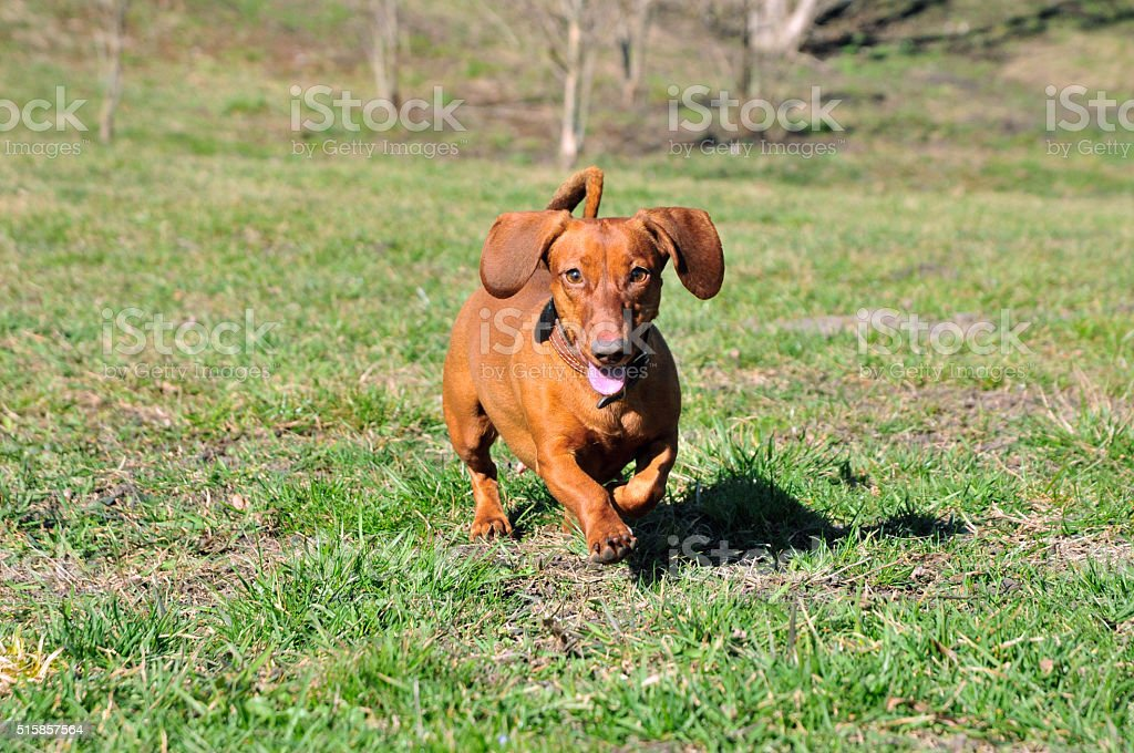 Dog running on the grass. Smooth-haired dachshund dog standard. stock photo