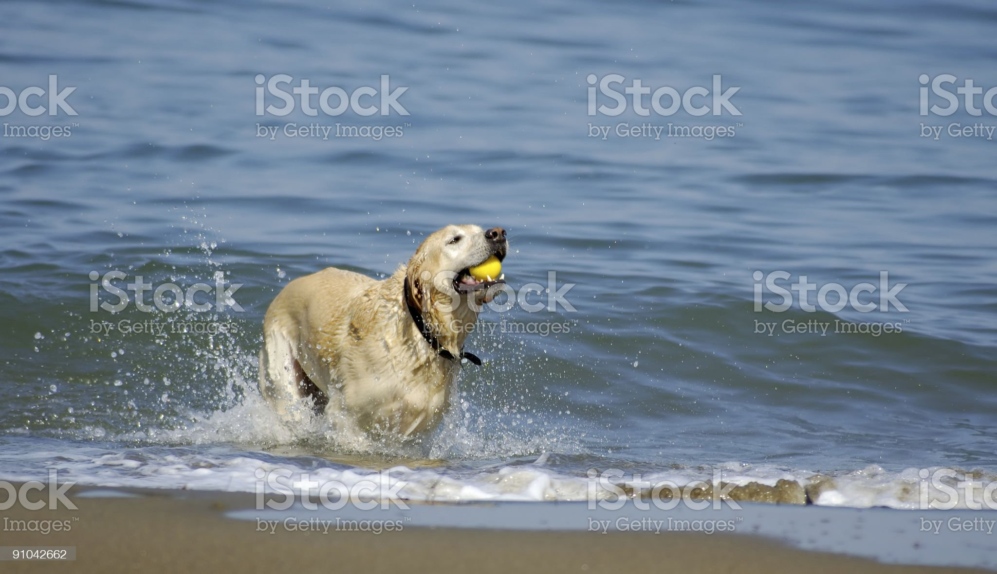 Dog running out of San Francisco Bay 4 royalty-free stock photo