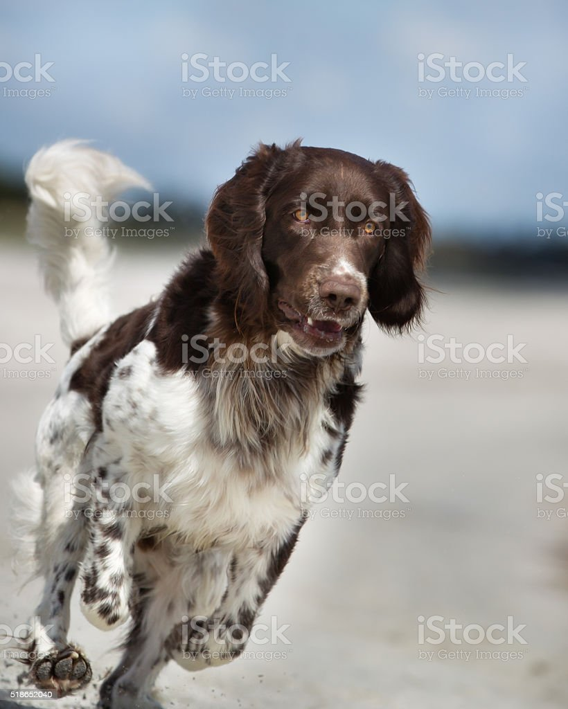 Dog running outdoors in nature stock photo