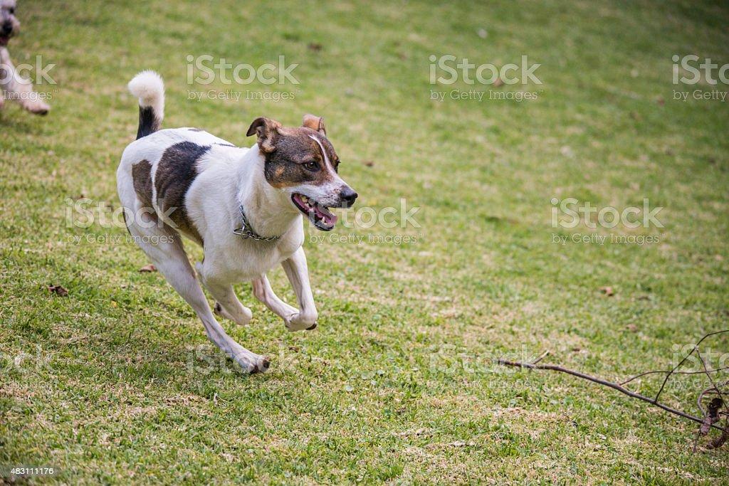 Dog Running stock photo