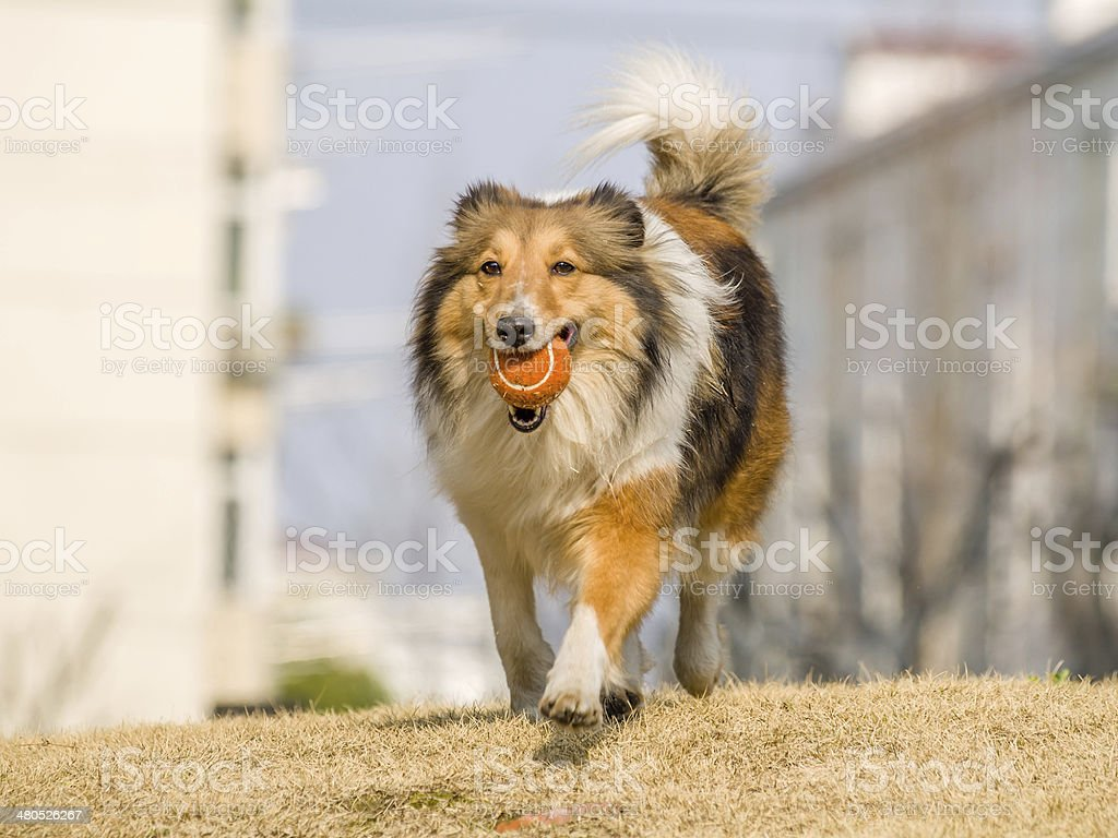 Dog, Running Shetland Sheepdog with ball in mouth royalty-free stock photo