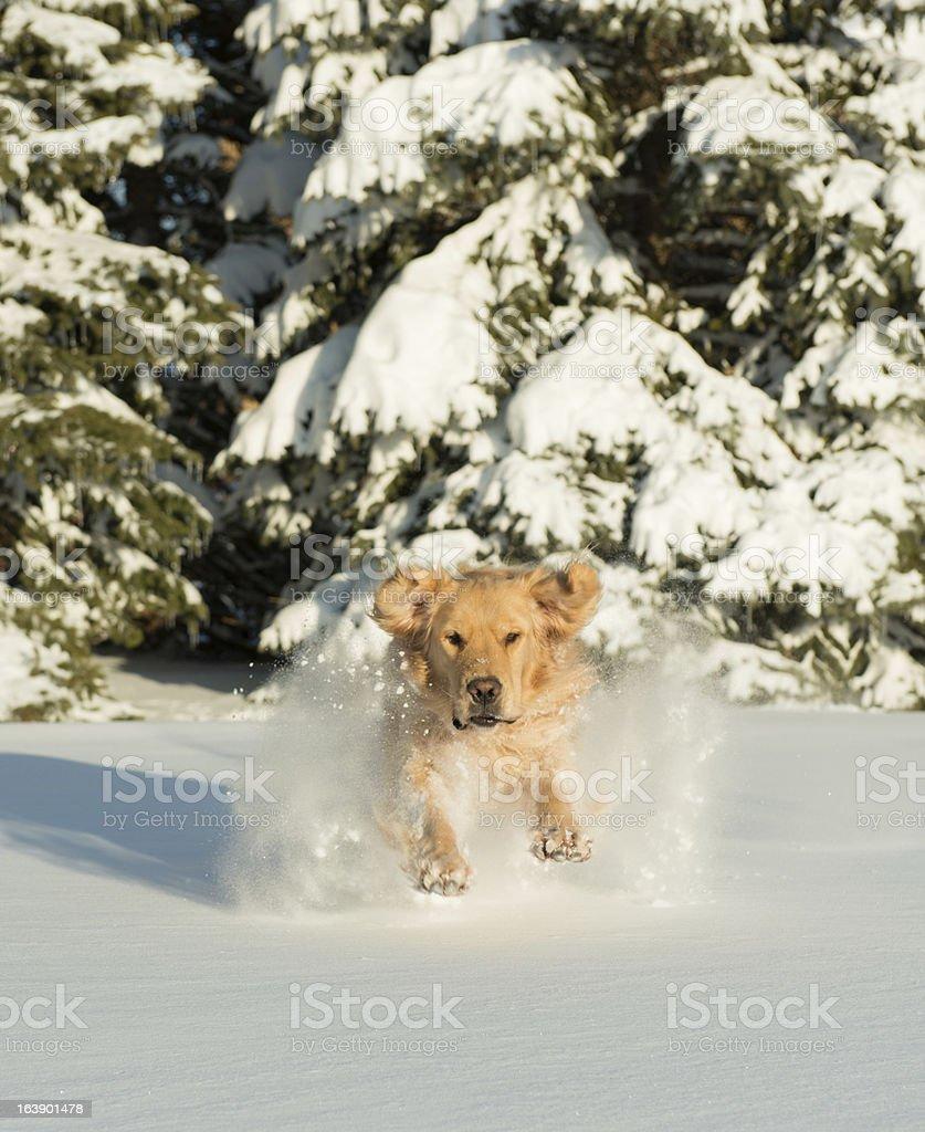 Dog Running Through Deep Snow royalty-free stock photo