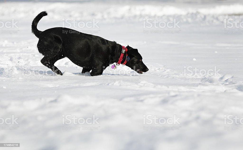 Dog Running Through Deep Snow stock photo