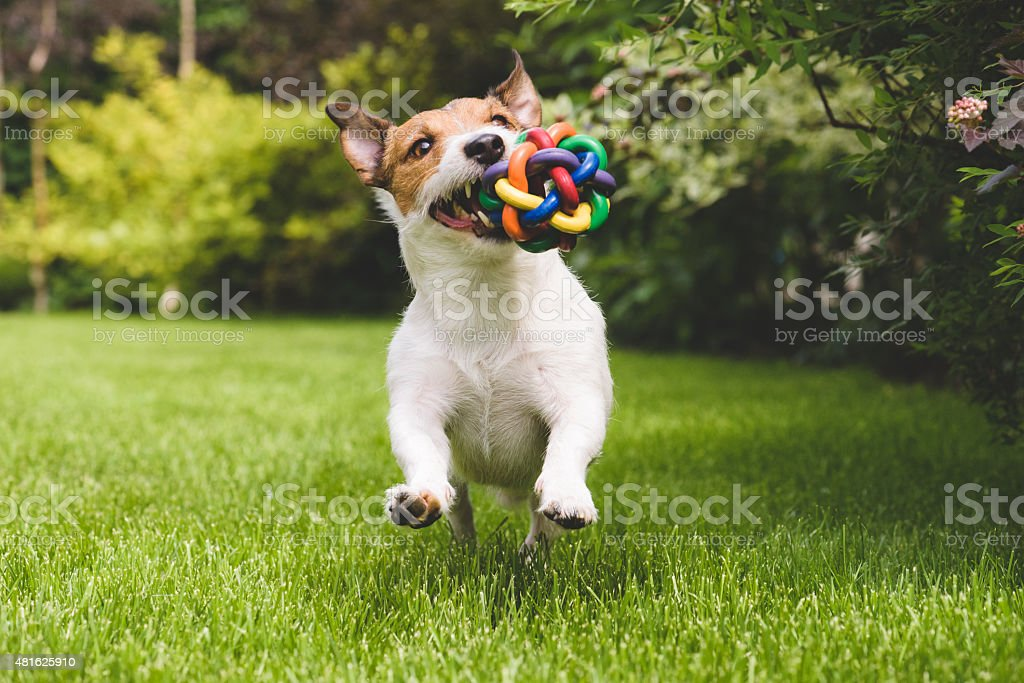 Dog running with a colourful ball stock photo
