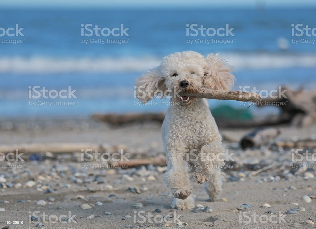 Dog running with stick in the mouth on the shore stock photo
