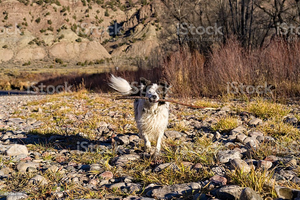 Dog Running with Stick Playing stock photo