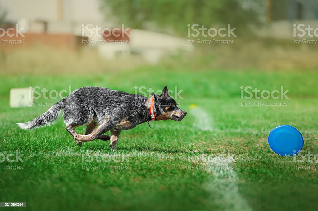 dog runs fast to catch the plastik disk stock photo
