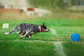 dog runs fast to catch the plastik disk