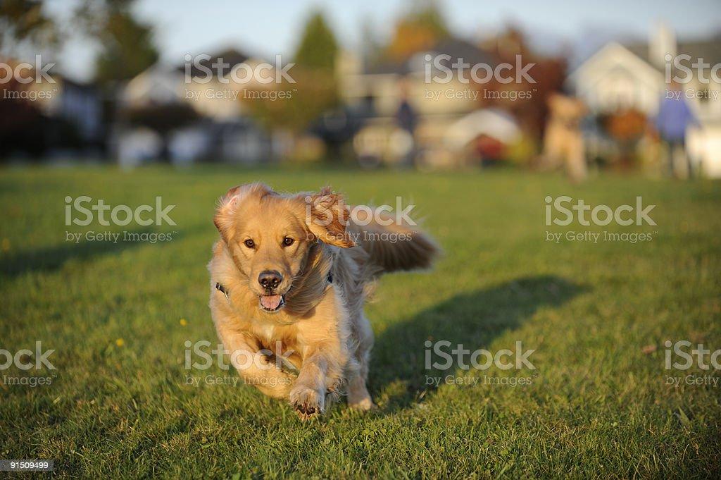 Dog runs fast towards camera royalty-free stock photo