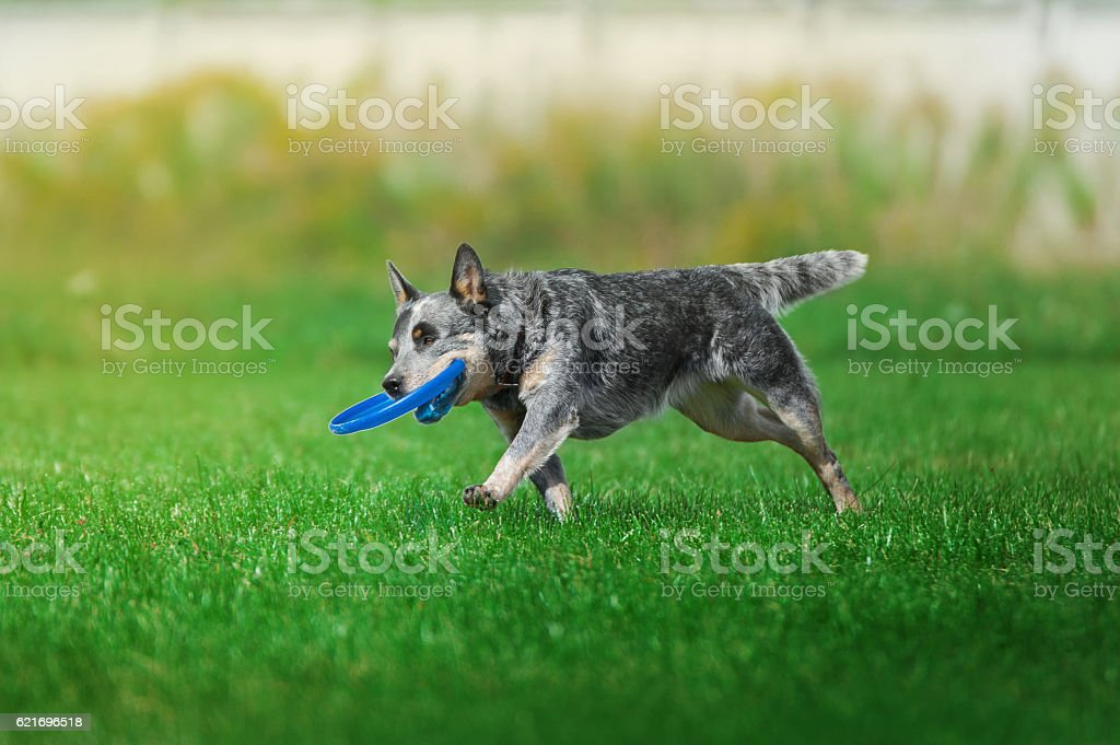 dog runs on green grass with the plastic disk stock photo