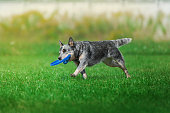 dog runs on green grass with the plastic disk