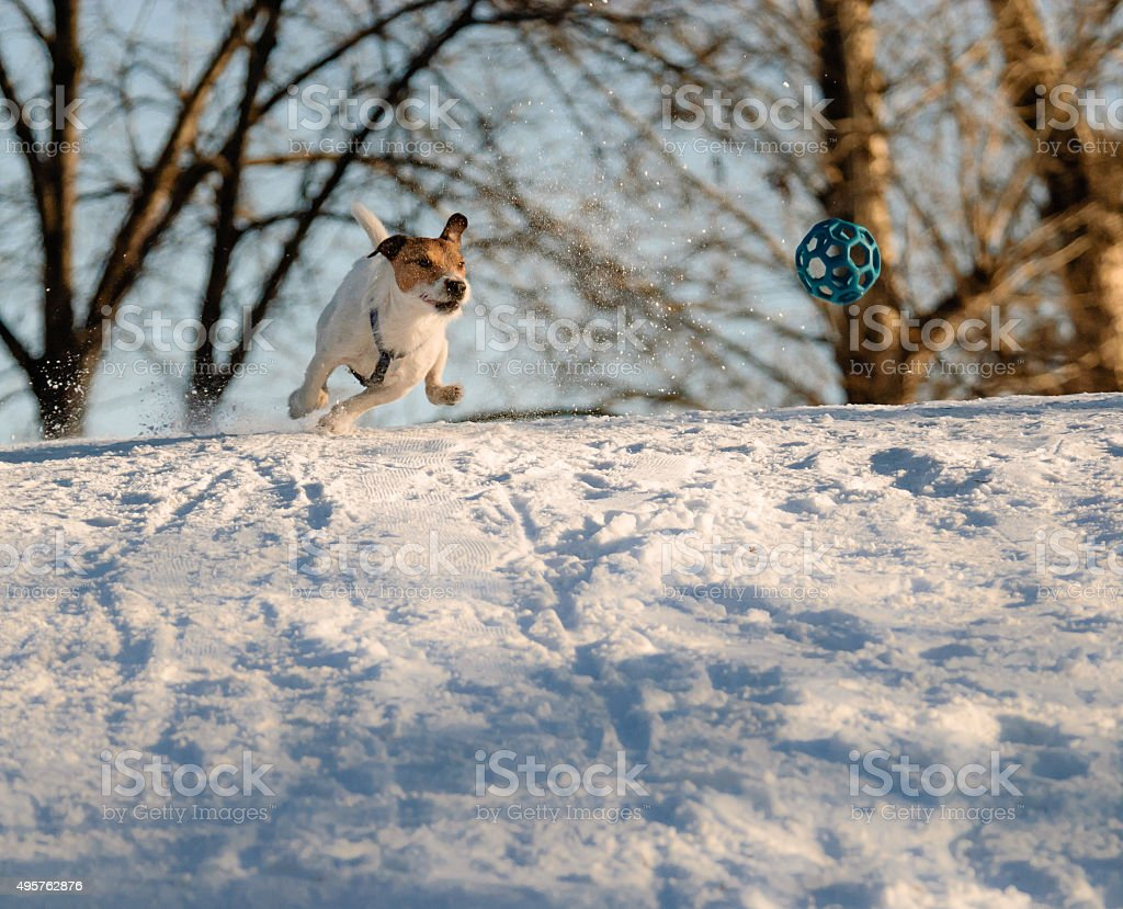 Dog rushing through snow chasing a ball. stock photo