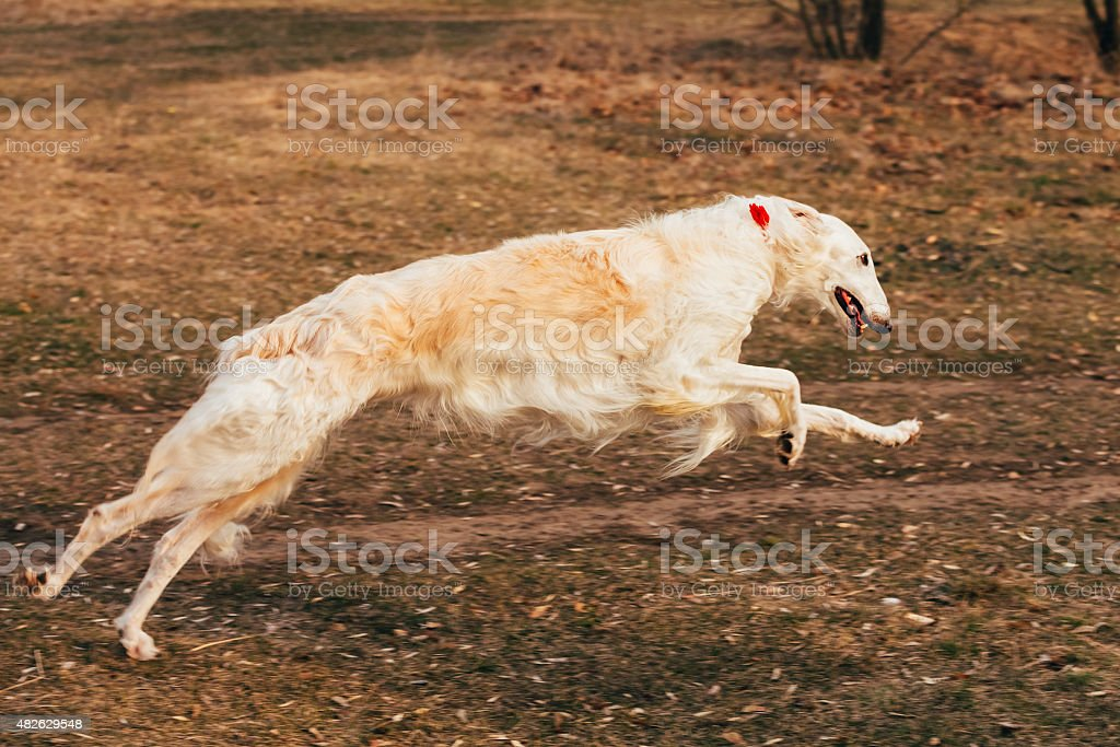 Dog Russian Borzoi Wolfhound Head , Outdoors Spring Autumn Time stock photo