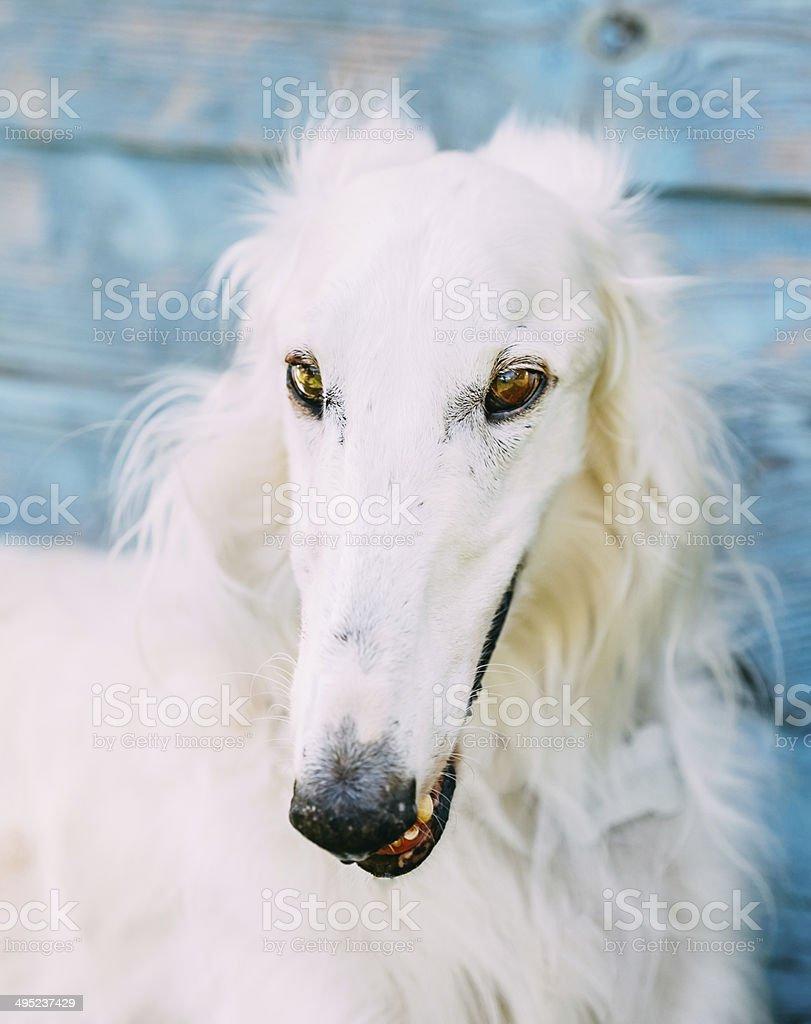 Dog Russian Borzoi Wolfhound stock photo