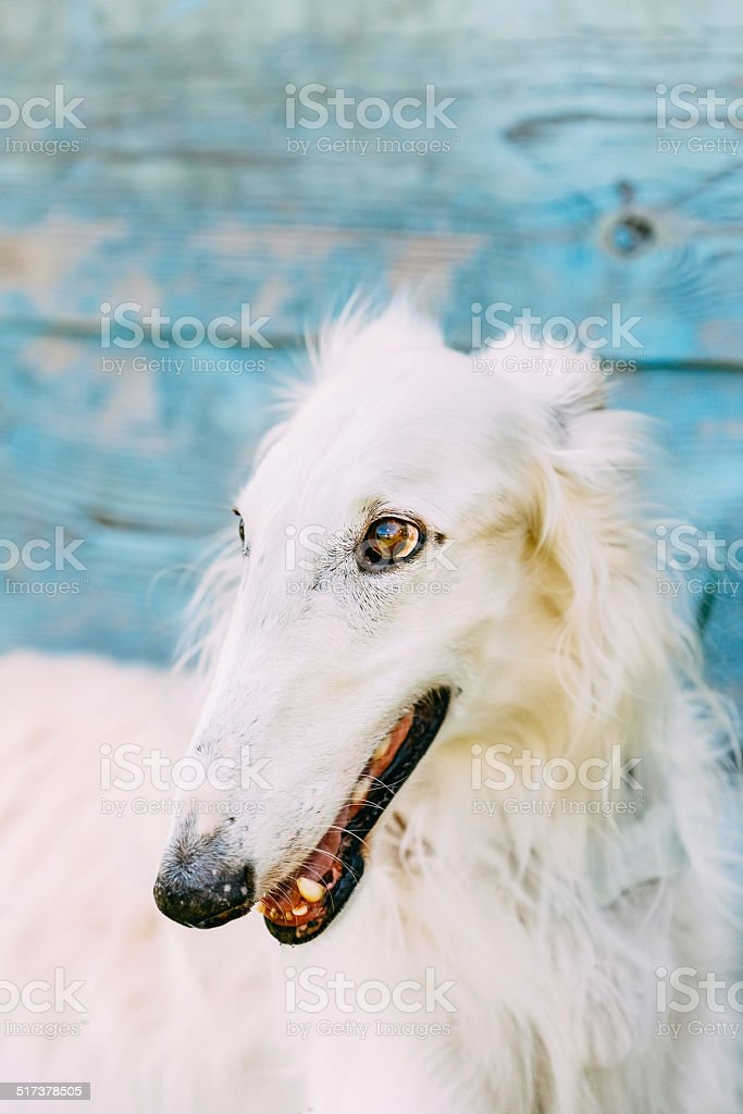 Dog Russian Borzoi Wolfhound stock photo