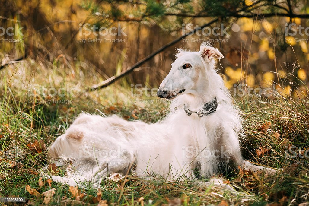 Dog Russian Borzoi Wolfhound Sit, Outdoors, Autumn Season stock photo