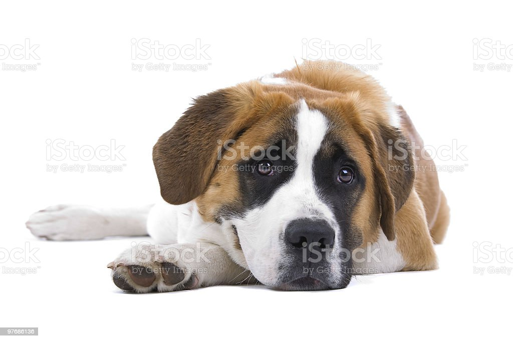 Dog  Saint Bernard isolated on a white background royalty-free stock photo