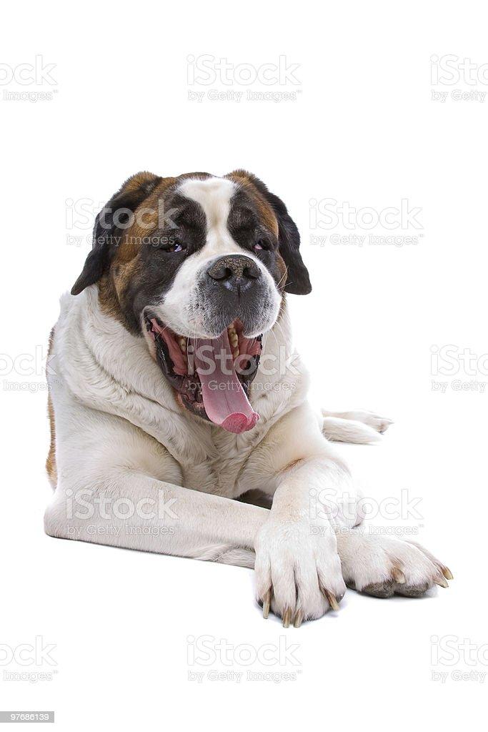 Dog  Saint Bernard isolated on a white background royalty-free stock photo