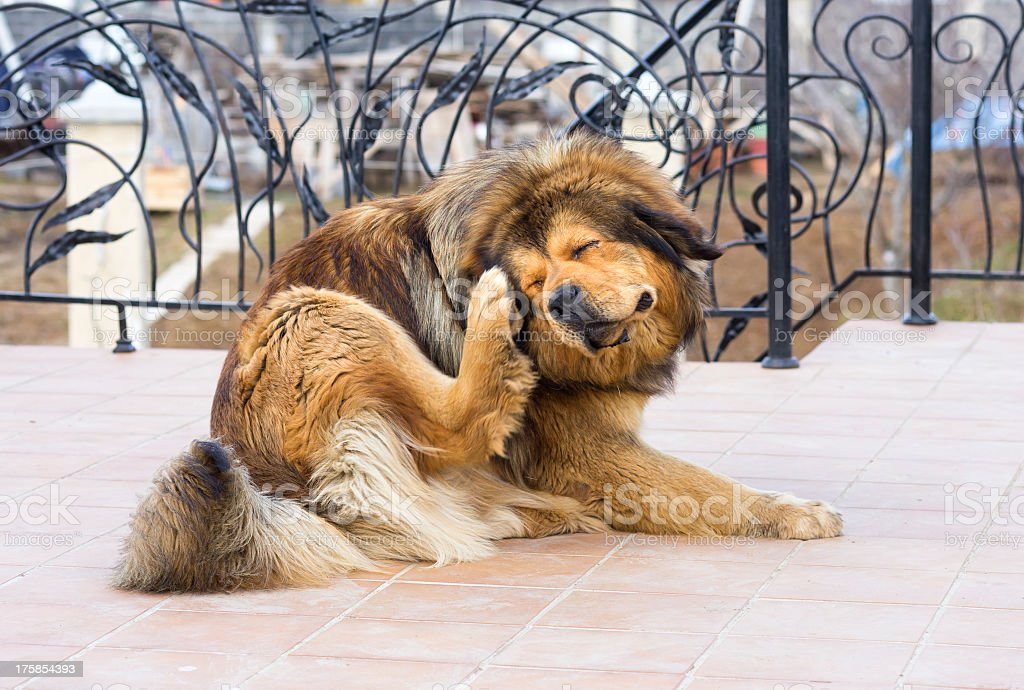 Dog scratching fleas outside on a deck stock photo