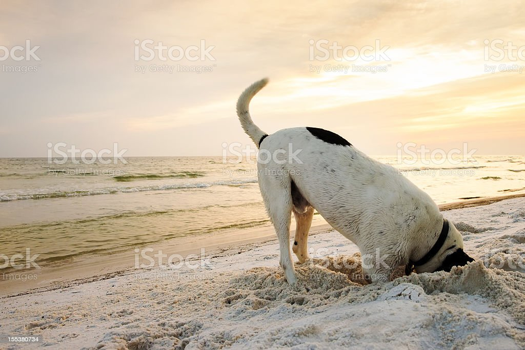 Dog Searching on Beach stock photo