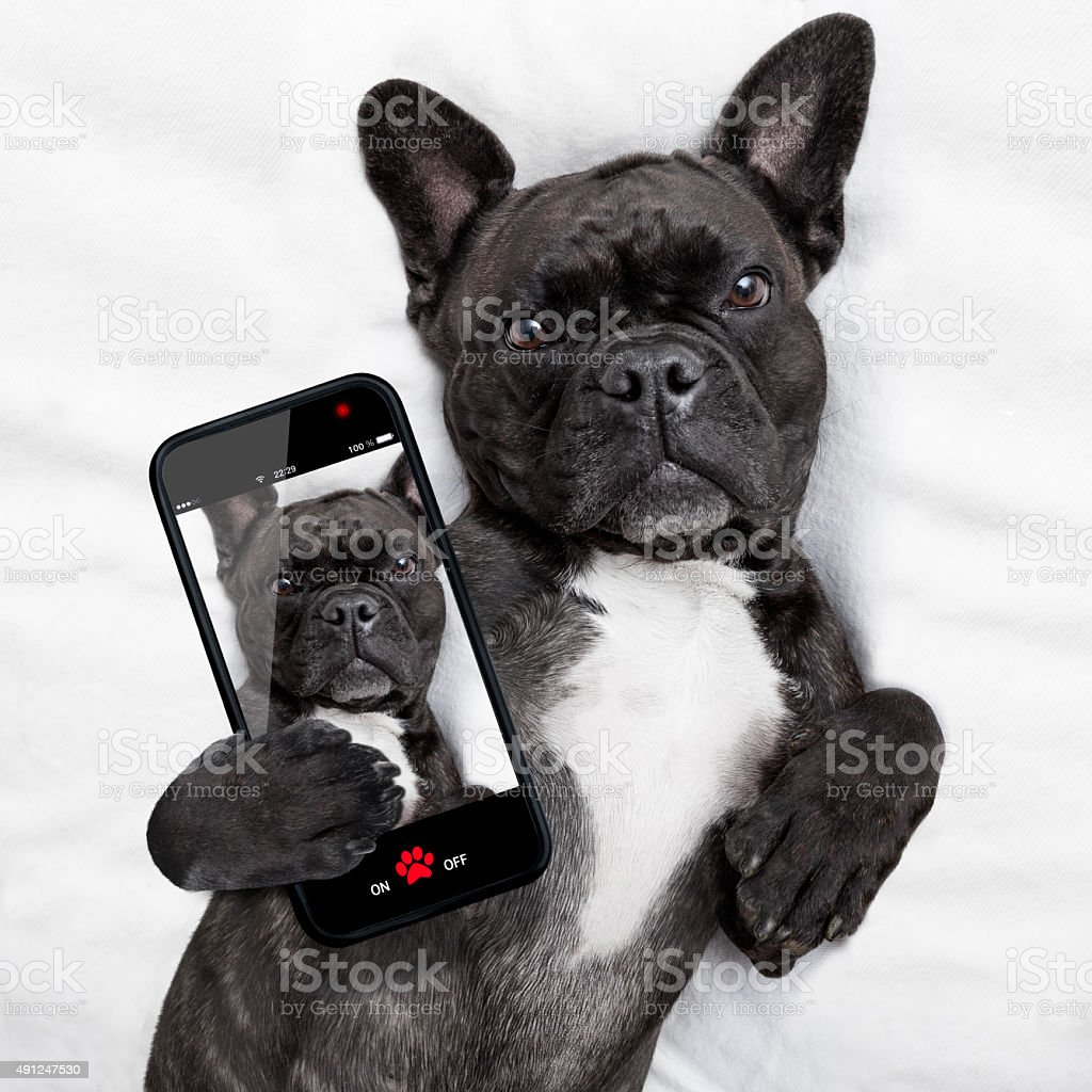 dog selfie in bed stock photo