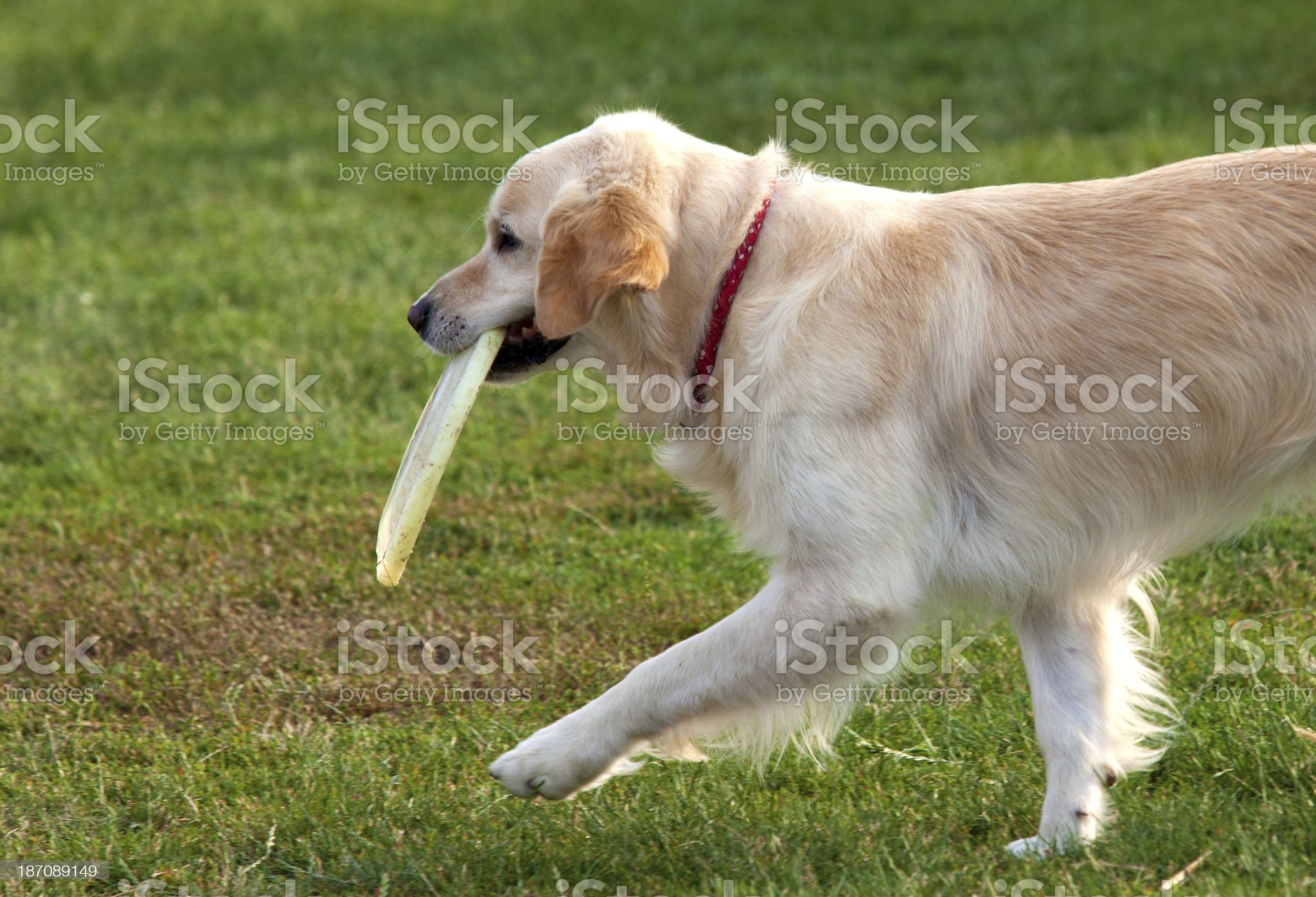 Dog series royalty-free stock photo