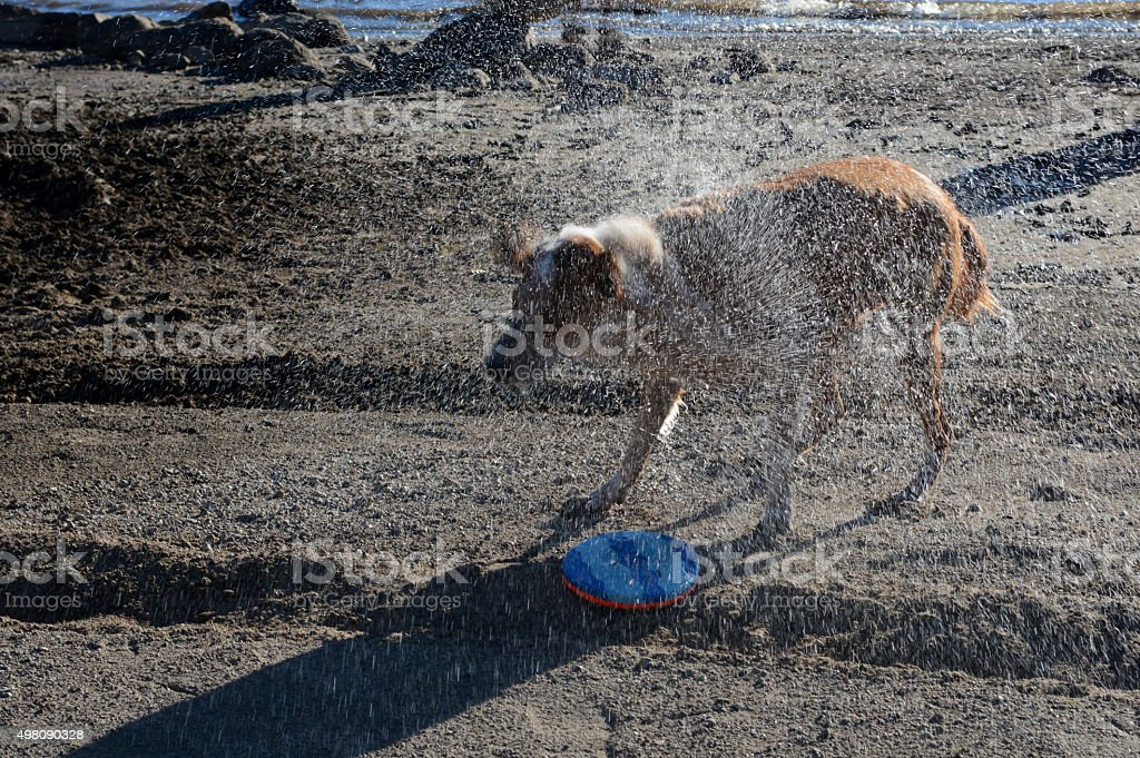 Dog Shakes Water royalty-free stock photo