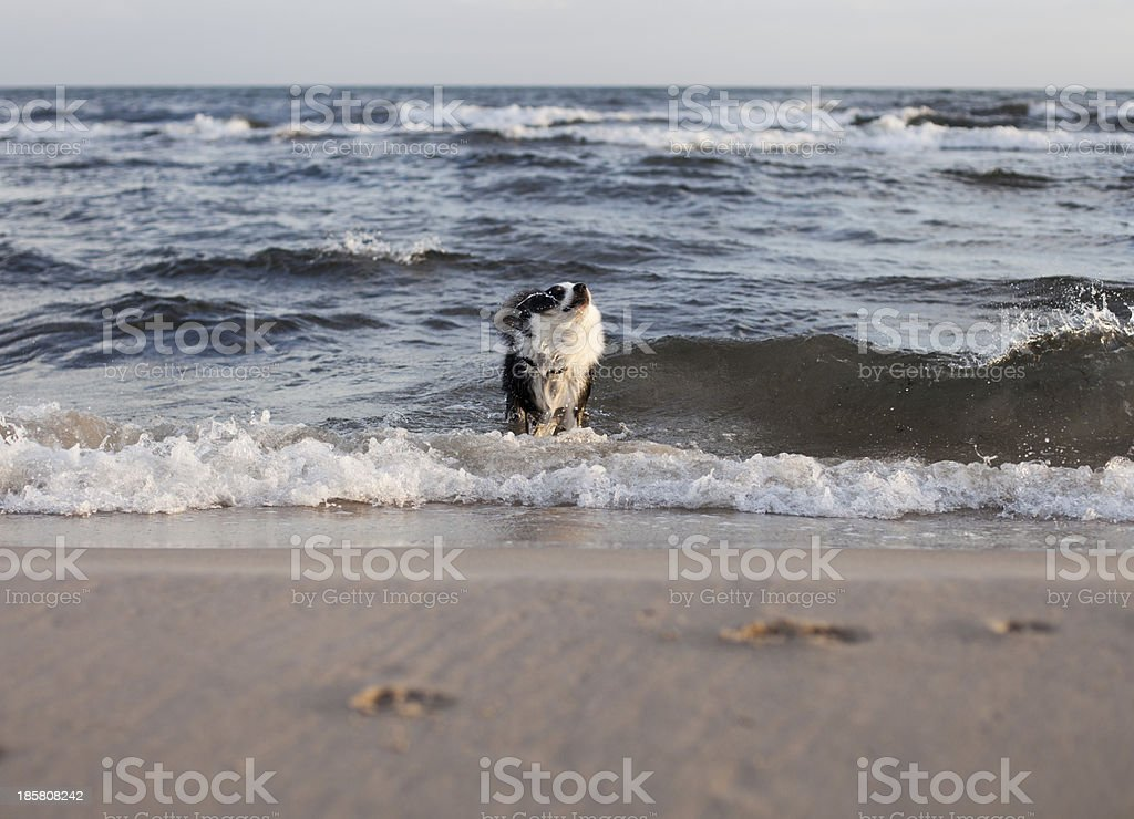 Dog shaking it's fur stock photo