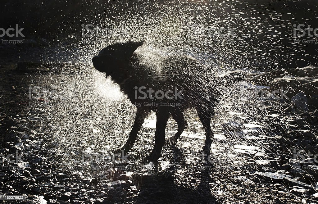 Dog Shaking Off Water royalty-free stock photo