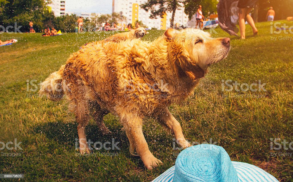 Dog shaking off water stock photo