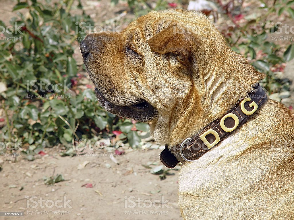 Dog - Shar Pei stock photo