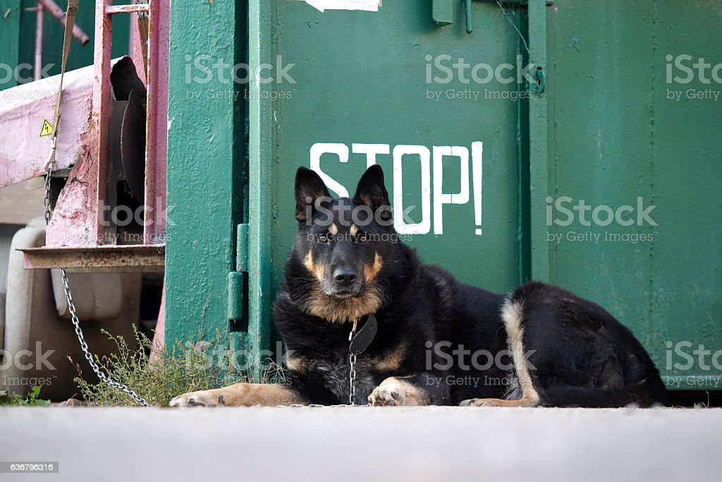 Dog shepherd carries the service stock photo