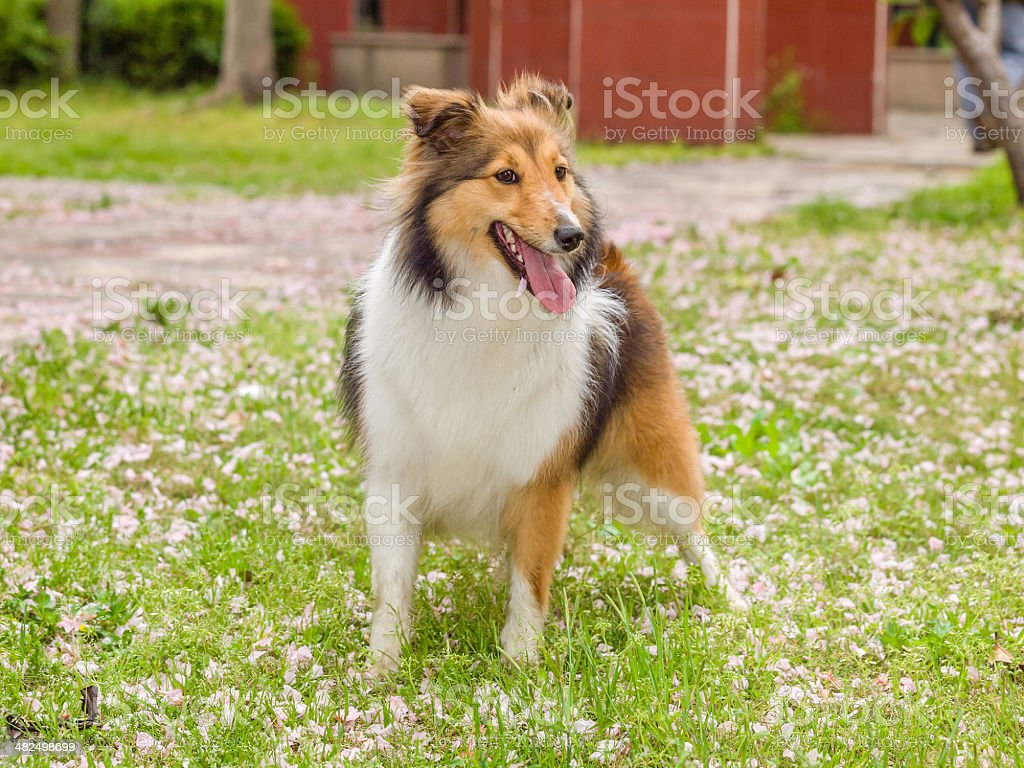 Dog, Shetland sheepdog, waiting to play with you. royalty-free stock photo