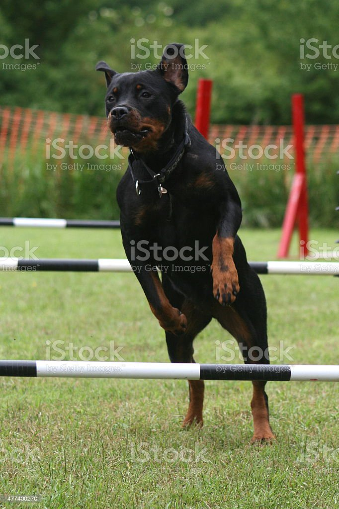 Dog Show Rottweiler stock photo