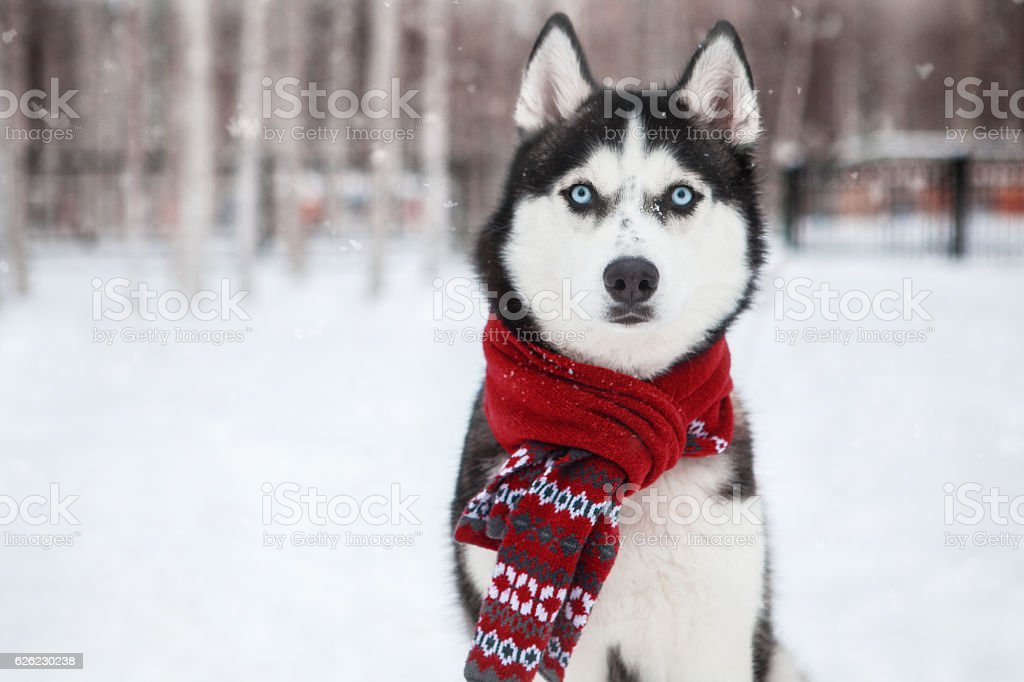Dog Siberian Husky in a red scarf stock photo