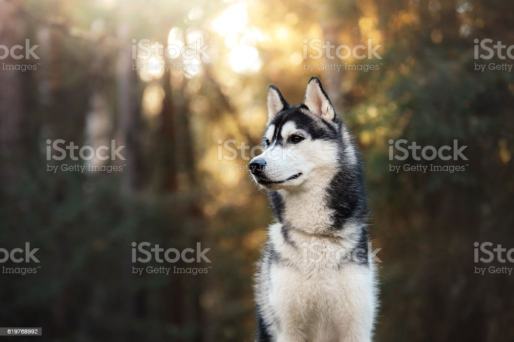 Dog Siberian Husky in the woods stock photo