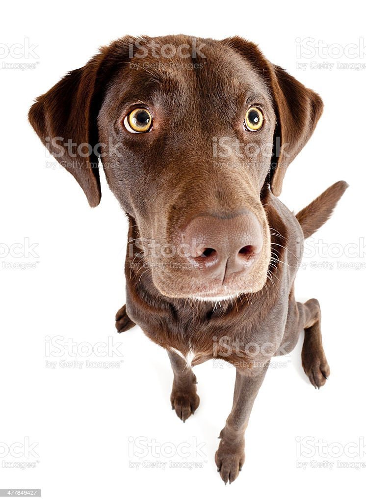 Dog sitting and looking up royalty-free stock photo