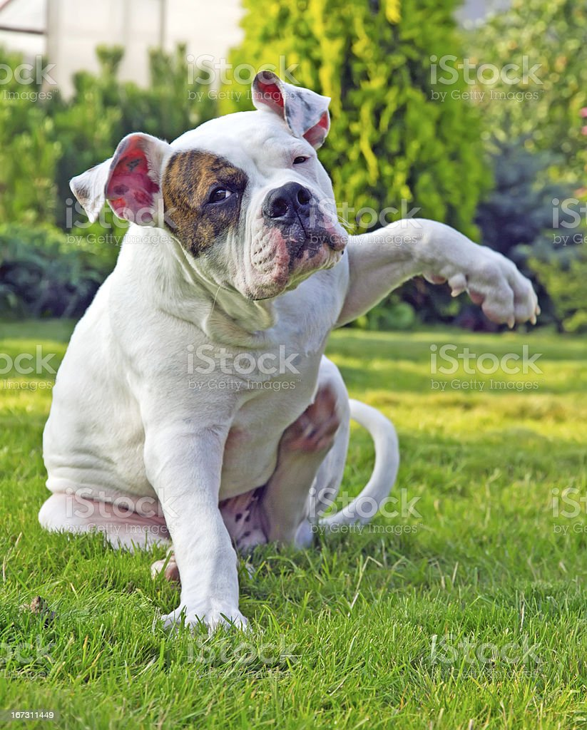 dog sitting and scratching itself royalty-free stock photo